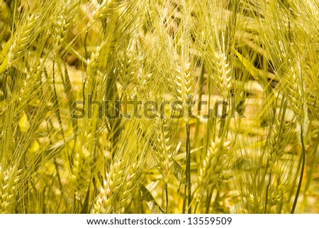 Detail of wheat field covered with gold wheat.