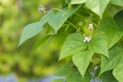 Detail of white flowers of kidney bean (Phaseolus coccineus) blooming on green plants in homemade garden. Macro close-up. Organic farming, healthy food, BIO viands, back to nature concept.