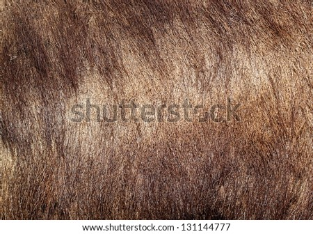 detail of wild boar  ( sus scrofa )  textured fur