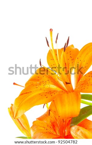 Detail of Yellow Lilly on white background .