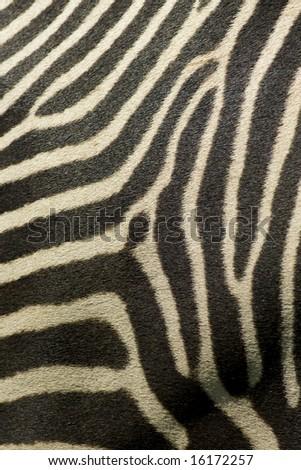 Detail of Zebra stripes