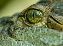 detail on eye of a crocodile, animal zoo