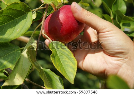 Detail on hand picking up a yummy red apple directly on the tree during late summer.