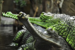 Detail photo of Gharial. The gharial (Gavialis gangeticus), also known as the gavial, and fish-eating crocodile is a crocodilian in the family Gavialidae.