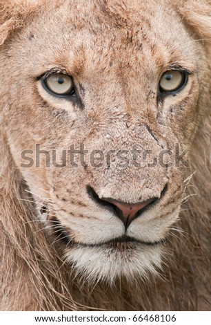 Detail portrait of a wild male lion in the Kruger Park, South Africa