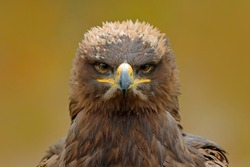 Detail portrait of eagle. Bird in the grass. Steppe Eagle, Aquila nipalensis, sitting on the meadow, forest in background. Wildlife scene from nature.