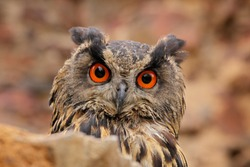 Detail portrait of Eurasian Eagle Owl, Bubo Bubo, wildlife photo in the forest with orange autumn colours, Slovakia. Bird in the forest.