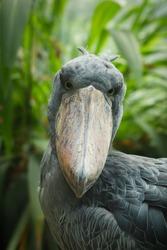 Detail portrait of grey shoebill (Balaeniceps rex). Closeup of stork with big beak. Portrait of rare bird with big beak. Wildlife scene from nature. Habitat Uganda, Africa.
