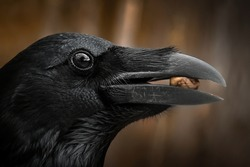 Detail portrait of raven with an open beak holding a nut, Close-up of black bird