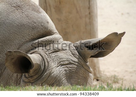 detail the ears of a rhino