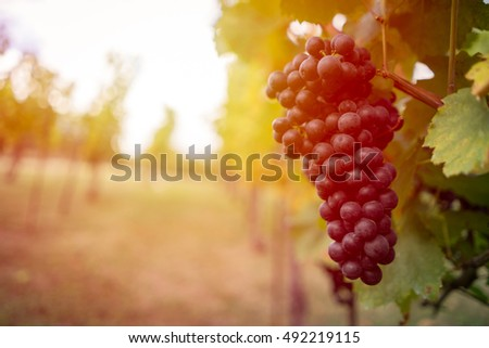 Detail view of vineyard with ripe grapes at sunset. Beautiful grapes ready for harvest. Golden evening light. Shallow depth of field. #492219115