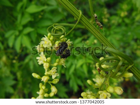 Detail, wasps and ant on a branch of wild vegetation. Wasps sucking the nectar and pollinating the small yellow flowers. Branch of vegetation with tendril.