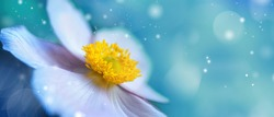 Detail with shallow focus of white anemone flower with yellow stamens in nature macro on background of blue sky with beautiful bokeh. Delicate artistic image of beauty of nature.