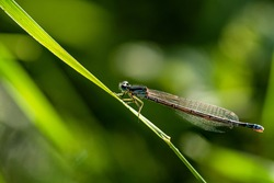 Detailed close up of a blue damselfly or dragonfly, sitting on a green straw of grass in bright sunlight
