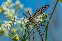 Detailed close up of a large Crane fly or daddy long legs, Tipula paludosa. Sitting on a white flower in summer sunlight against a blue sky