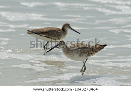 Detailed close up of a pair of American short-billed dowitcher sandpipers wading and hunting in the sea foam and sandy colored water along the shore of Florida's Gulf Coast. #1043273464