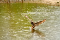 Detailed close up of a wild Eagle Owl. The bird of prey flies with outspread wings just above the water of a lake. Grabs the prey with its paws. Reflection in green water