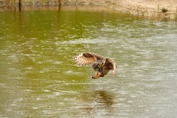 Detailed close up of a wild eagle owl. The bird of prey starts landing, just above the water of a lake. Grabs the prey with its legs. Reflection in green water