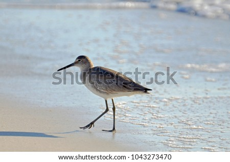 Detailed close up of American short-billed dowitcher sandpiper hunting on the Gulf Coast shore of blue green surf and white sea foam.  Sunlit from back with long shadow of slightly lifted leg. #1043273470