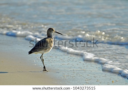 Detailed close up of American short-billed dowitcher sandpiper standing on the Gulf Coast shore of blue green surf and white sea foam.  Sunlite from front with long shadow of slightly lifted leg. #1043273515