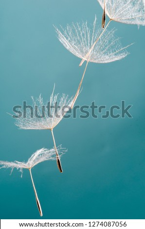Detailed close up of beautiful Dandelion seeds blown in blue and turquoise background
