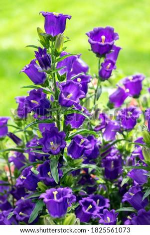 Detailed close-up of Campanula, Canterbury-Bells, USA Photo stock ©