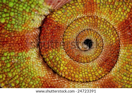 Detailed close-up of the curled-up tail of a Panther Chameleon.