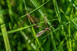 Detailed close up of two large crane flies or Daddy long legs, mating among green straws of grass in sunlight