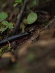 Detailed closeup macro of black red legged millipede arthropod invertebrate animal bug insect Epibolus pulchripes Inca Jungle Trail Aguas Calientes, Machu Picchu Peru South America