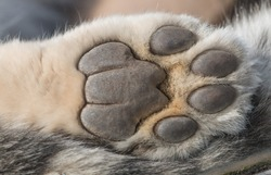 Detailed closeup shot of a Snow Leopard's paw from underneath, showing skin and fur of the predator