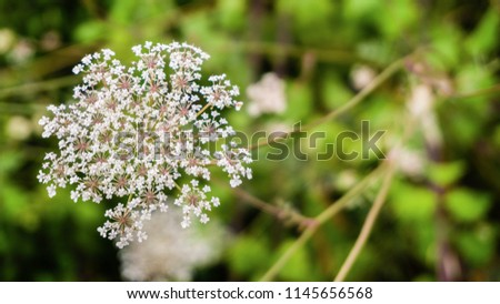 Detailed Daucus Carota. Blooming flowers of wild carrot. Bees' Nest close up, an umbelliferous plant. Queen Anne's Lace Single growing wild. Closeup of flowering umbel. Bird's nest and bishop's lace.