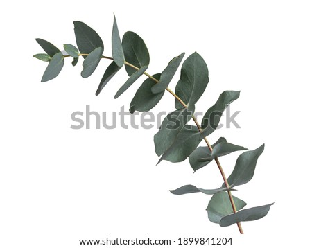 Detailed Grey green or glaucous leaves on a branch of the Eucalyptus tree, seen from the side. Isolated on a white background.