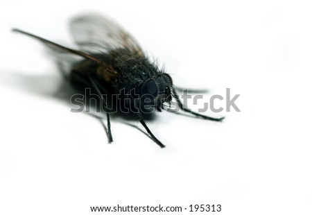 Detailed housefly isolated on white background
