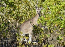 Detailed image of an Eastern grey kangaroo in a mangrove forest in warm weather. Photo taken in Queensland Australia in a vast mangrove swamp.