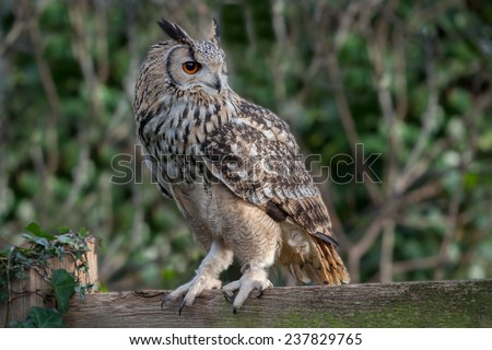 Detailed landscape photograph of an eagle owl showing the bird in profile looking to the right. Detailed feathers, eye and beak set against a natural out of focus background. perched on a fence