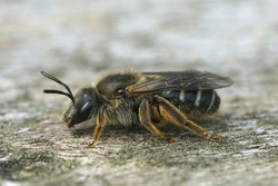 Detailed lateral closeup of a female of the White-zoned furrow bee, Lasioglossum leucozonium on wood