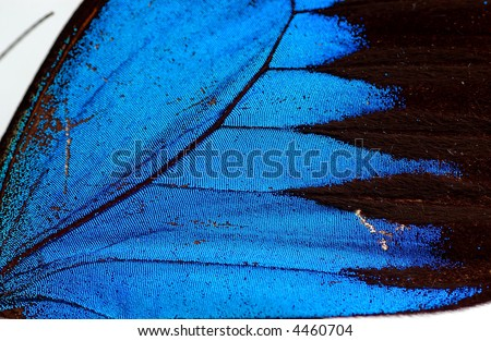 Detailed macro texture of Ulysses butterfly wing.
