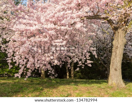 Detailed photo of a bunch of bright japanese cherry blossom flowers in Washington DC against the woods background to give warm floral image
