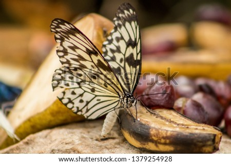detailed pic of a beautiful butterfly eating fruit showing black, yellow and white wings.