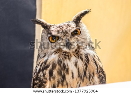 Detailed pic of an owl on a nice light. They are nocturnal birds with a large head, binocular vision, binaural hearing, and feathers adapted for silent flight. The eyes are really big black and orange