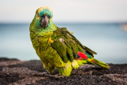 Detailed picture of a green colorful parrot with red wing tips looking at camera. Lanzarote, Canary Islands, Spain.