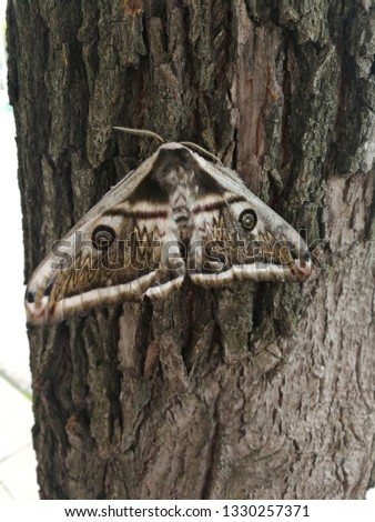 Detailed picture of the wooden big night moth during the daytime