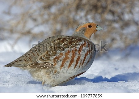 detailed portrait of a Hungarian Partridge in northern Washington, near the Canada border, in winter snow Pacific Northwest wildlife / bird / animal / nature