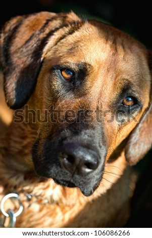 Detailed portrait of a Rhodesian Ridgeback dog