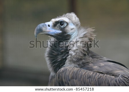 Detailed portrait of a white head vulture