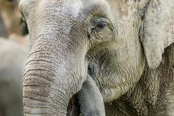 Detailed portrait of African bush elephant.