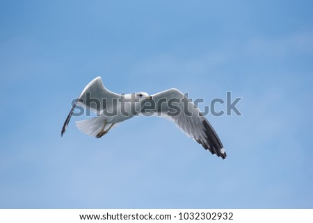 Detailed portrait of natural flying Armenian gull (Larus armenicus).The Armenian gull (Larus armenicus) is a large gull found in the Caucasus and Middle East