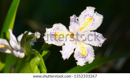 Detailed shot of a White Iris Orchid (Iris japonica), also known as fringed iris or butterfly iris. This flower is called shaga in Japanese. Picture taken in Chidori-ga-fuchi Moat in Tokyo, Japan.
