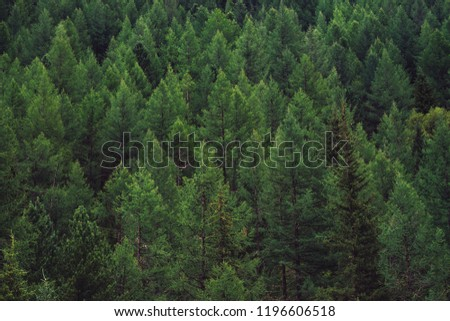 Detailed texture of conifer forest on hill close up. Background of tree tops on mountainside. Cones of conifer trees on steep slope with copy space.
