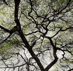 Detailed tree branches in Lake Manyara National Park - Tanzania